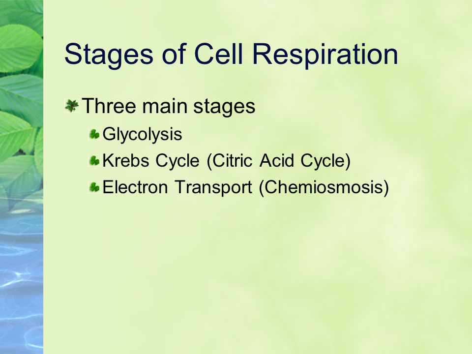 Stages of Cell Respiration Three main stages Glycolysis Krebs Cycle (Citric Acid Cycle) Electron Transport (Chemiosmosis)