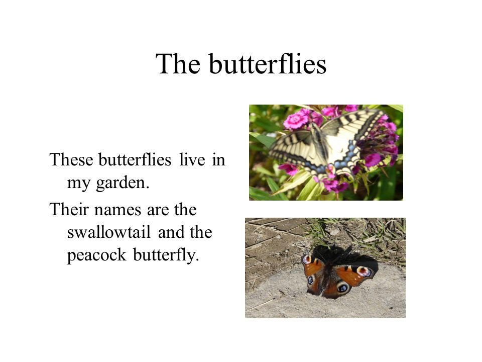 The butterflies These butterflies live in my garden. Their names are the swallowtail and the peacock butterfly.