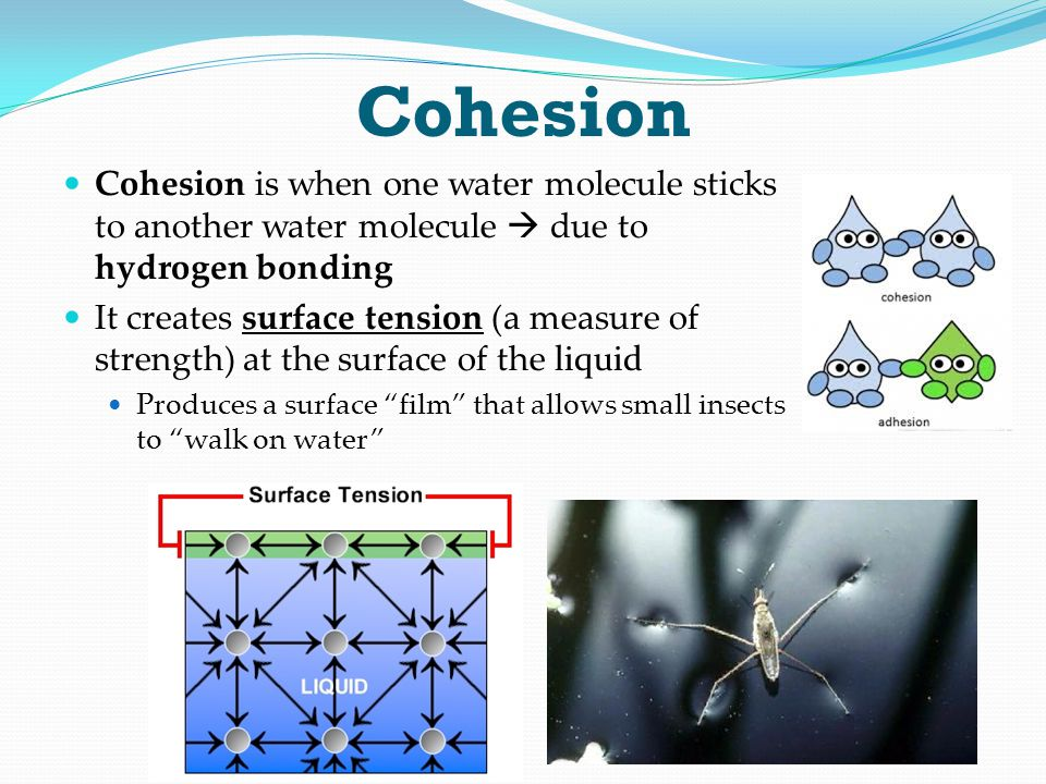 Cohesion Cohesion is when one water molecule sticks to another water molecule  due to hydrogen bonding It creates surface tension (a measure of stren