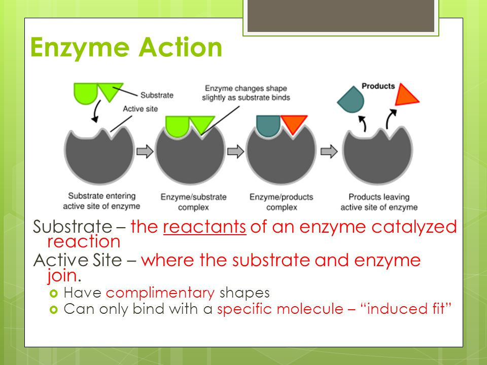 Enzyme Action Substrate – the reactants of an enzyme catalyzed reaction Active Site – where the substrate and enzyme join.  Have complimentary shapes
