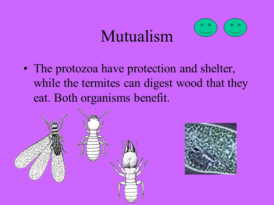 Mutualism The protozoa have protection and shelter, while the termites can digest wood that they eat.