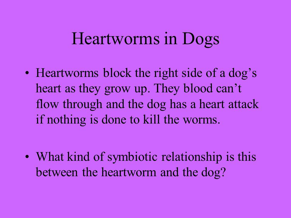 Heartworms in Dogs Heartworms block the right side of a dog's heart as they grow up.