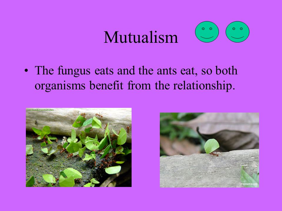 Mutualism The fungus eats and the ants eat, so both organisms benefit from the relationship.