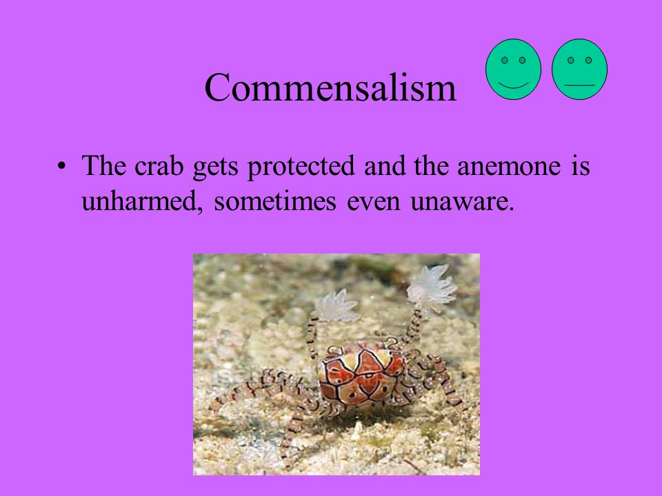 Commensalism The crab gets protected and the anemone is unharmed, sometimes even unaware.
