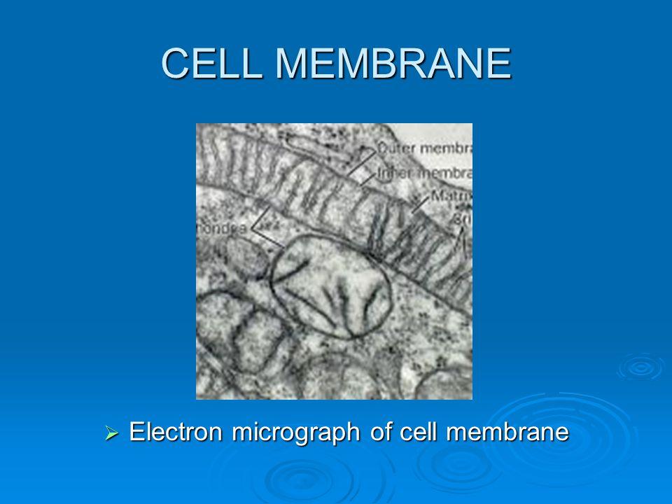 CELL MEMBRANE  Electron micrograph of cell membrane