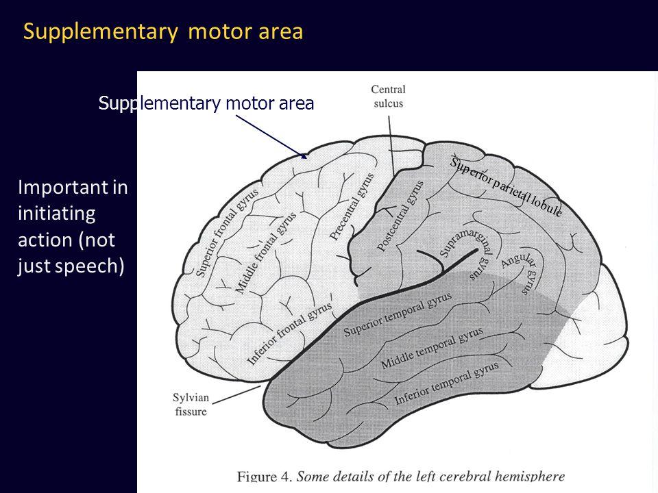 Supplementary motor area Superior parietal lobule Supplementary motor area Important in initiating action (not just speech)