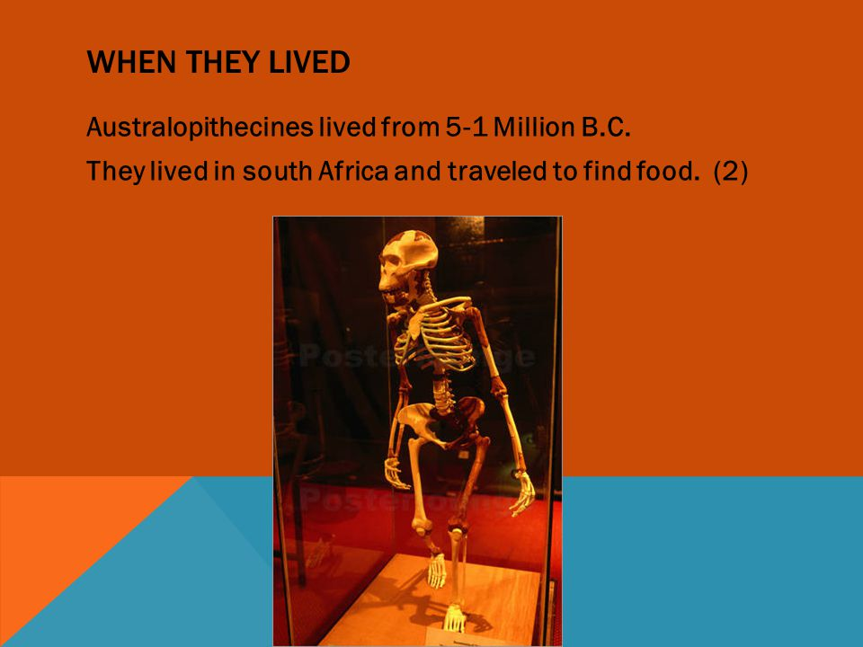 INTRODUCTION Click, crunch, click, crunch; that is the sound of an Australopithecus roaming in the grass. Speaking of Australopithecus, today you will