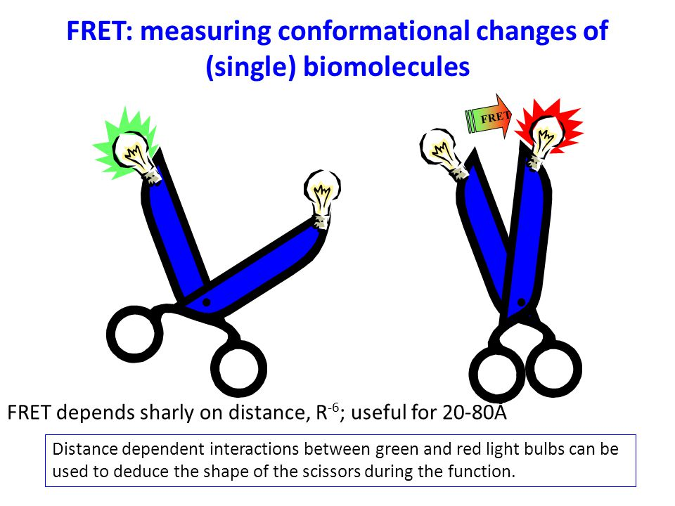 FRET FRET: measuring conformational changes of (single) biomolecules Distance dependent interactions between green and red light bulbs can be used to deduce the shape of the scissors during the function.