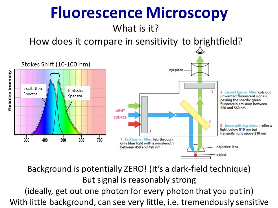Fluorescence Microscopy Use dyes which absorb at one wavelength and emit at their own wavelength.