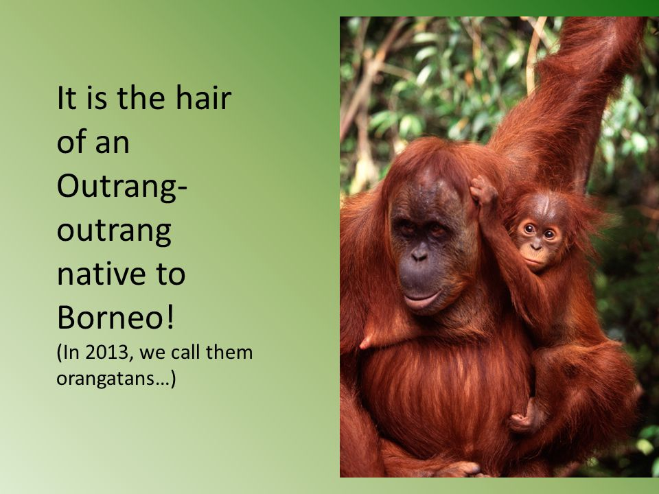 It is the hair of an Outrang- outrang native to Borneo! (In 2013, we call them orangatans…)