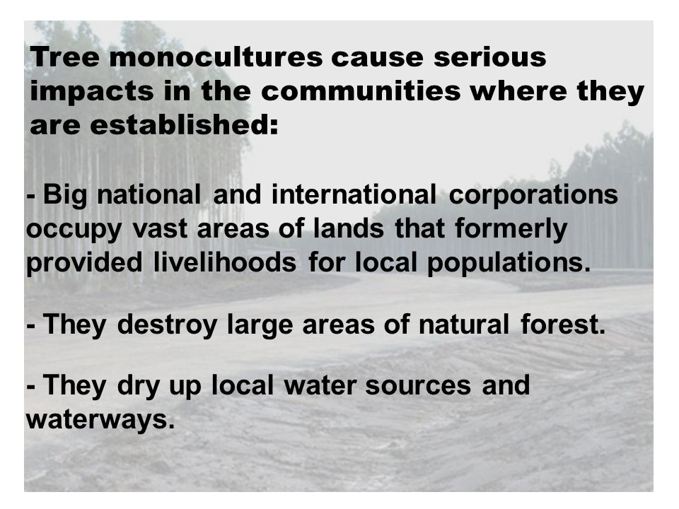Tree monocultures cause serious impacts in the communities where they are established: - They dry up local water sources and waterways. - They destroy