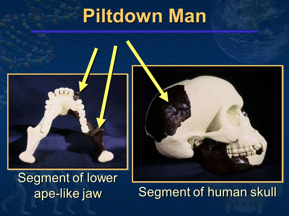 Piltdown Man  Parts found between 1908 and 1912 in Piltdown, England Portion of human skull Portion of lower ape-like jaw  Parts found between 1908 and 1912 in Piltdown, England Portion of human skull Portion of lower ape-like jaw  The claim: 500,000 year old intermediate link