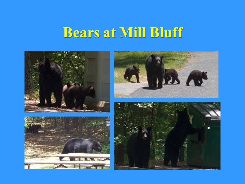 Bears at Mill Bluff