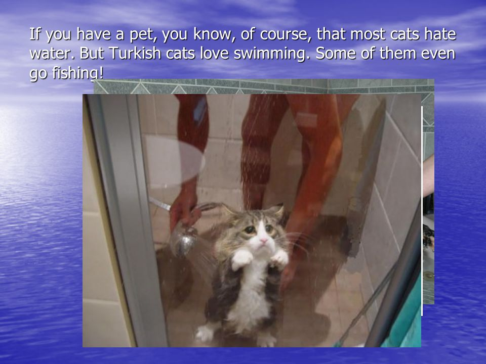 If you have a pet, you know, of course, that most cats hate water. But Turkish cats love swimming. Some of them even go fishing!