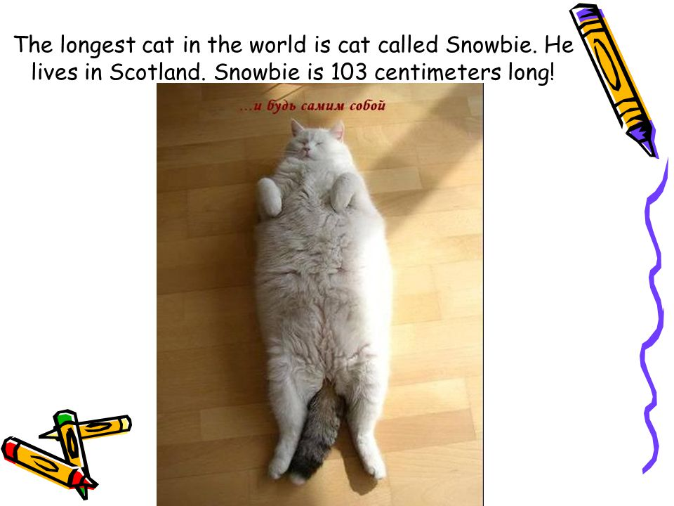 The longest cat in the world is cat called Snowbie. He lives in Scotland. Snowbie is 103 centimeters long!
