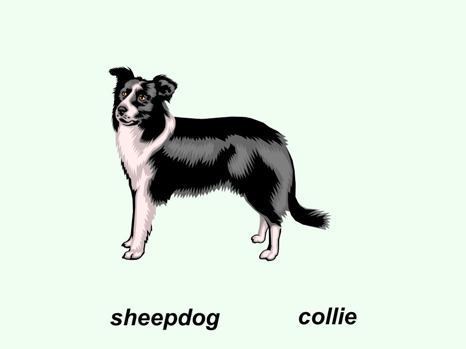 sheepdog collie