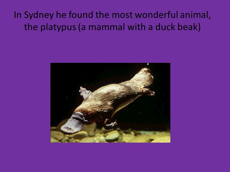 In Sydney he found the most wonderful animal, the platypus (a mammal with a duck beak)