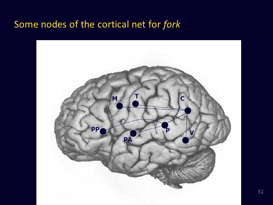 Some nodes of the cortical net for fork V MC T P PA PP 32