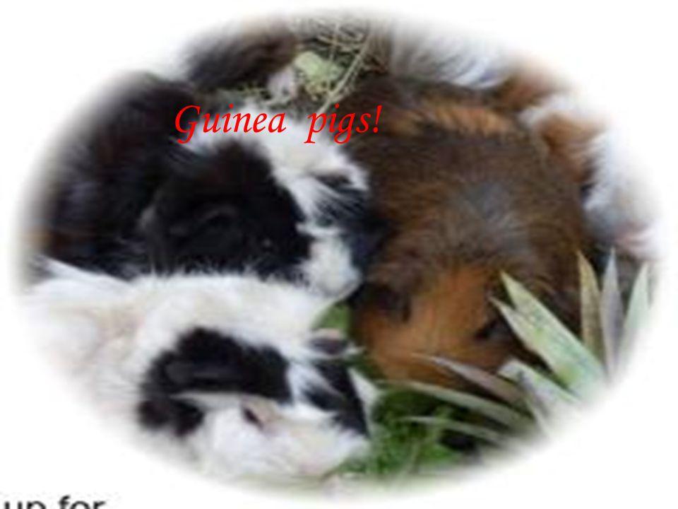 Guinea Guinea pigs!