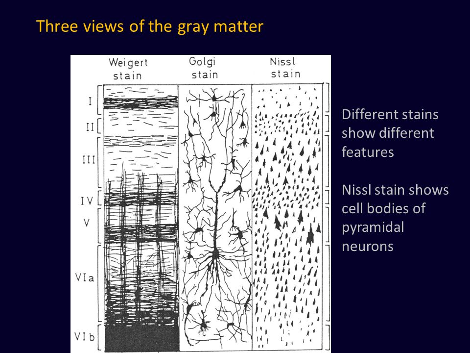 Three views of the gray matter Different stains show different features Nissl stain shows cell bodies of pyramidal neurons