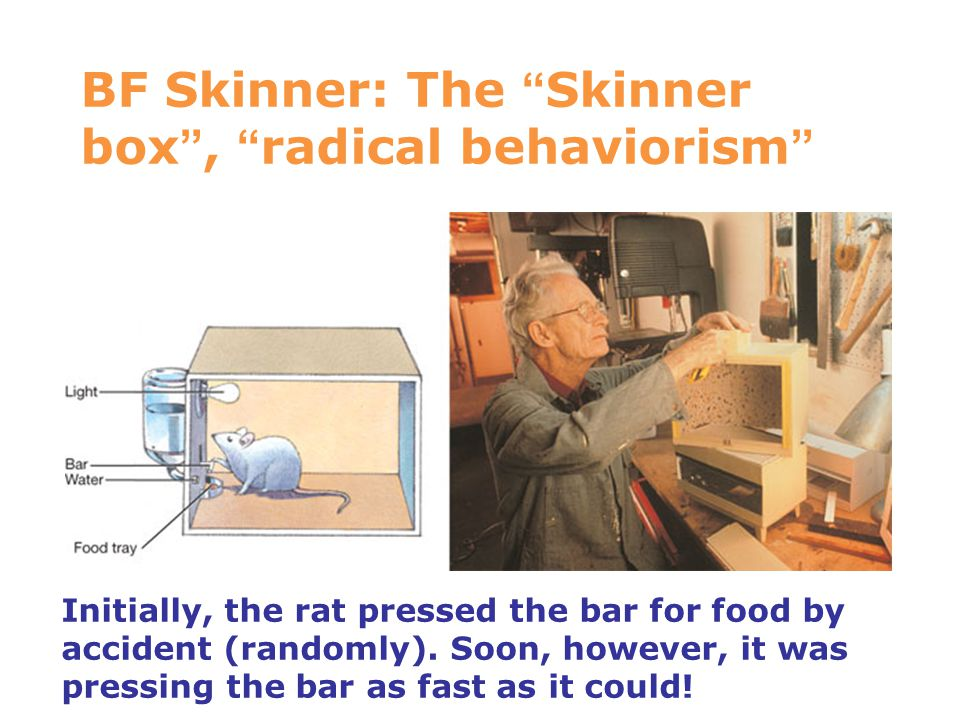 "BF Skinner: The "" Skinner box "", "" radical behaviorism "" 7 Initially, the rat pressed the bar for food by accident (randomly). Soon, however, it was p"