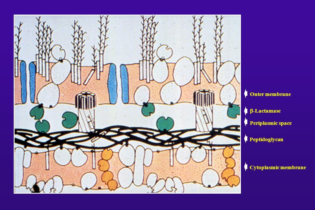 Outer membrane  -Lactamase Cytoplasmic membrane Periplasmic space Peptidoglycan