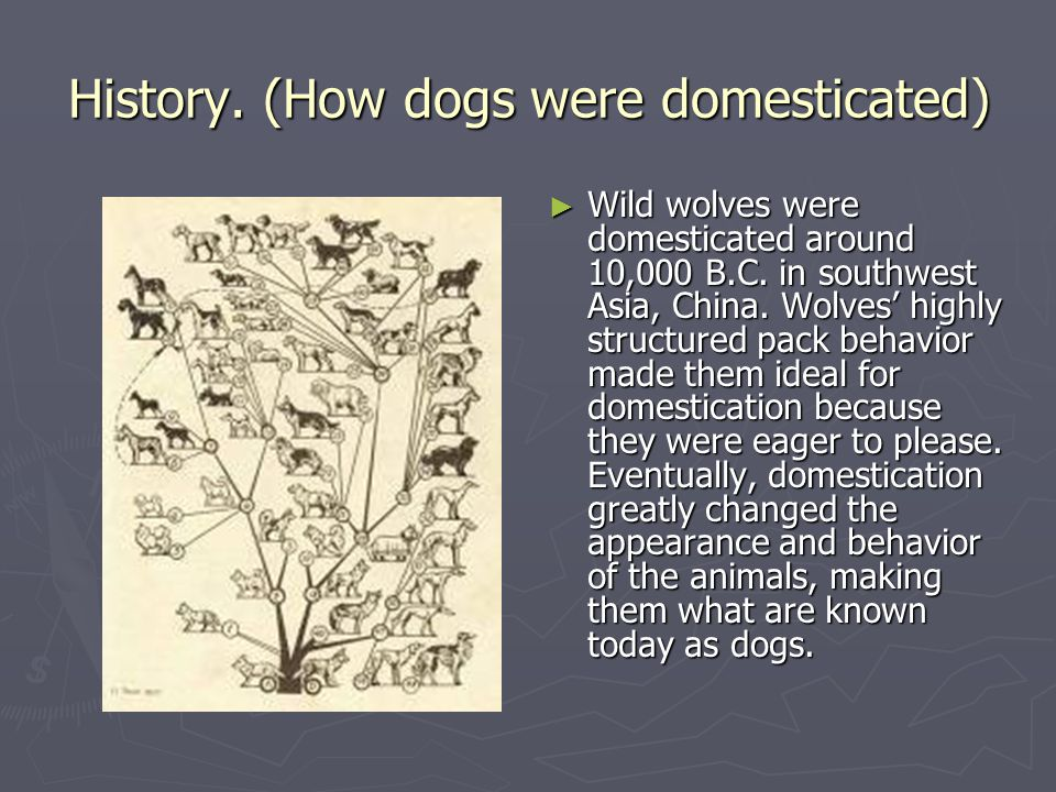 History. (How dogs were domesticated) ► Wild wolves were domesticated around 10,000 B.C. in southwest Asia, China. Wolves' highly structured pack beha