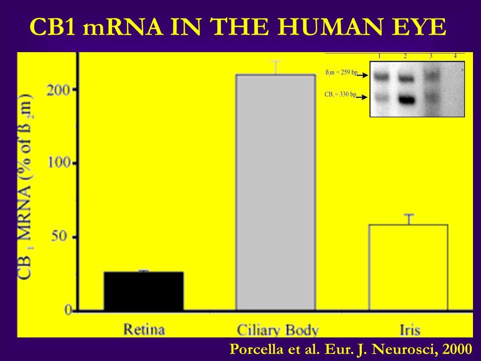 CB1 mRNA IN THE HUMAN EYE Porcella et al. Eur. J. Neurosci, 2000