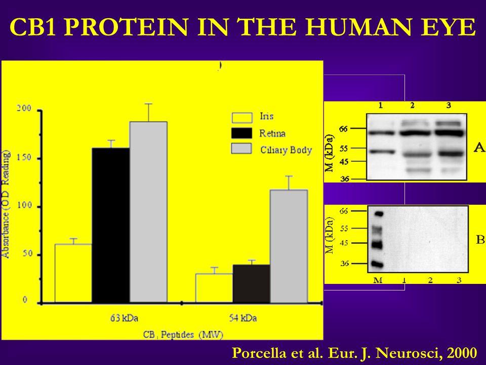 CB1 PROTEIN IN THE HUMAN EYE Porcella et al. Eur. J. Neurosci, 2000
