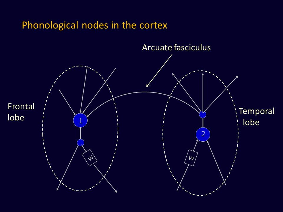 Phonological nodes in the cortex w w 1 2 Arcuate fasciculus Frontal lobe Temporal lobe