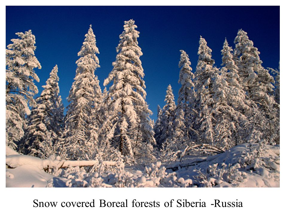 Snow covered Boreal forests of Siberia -Russia