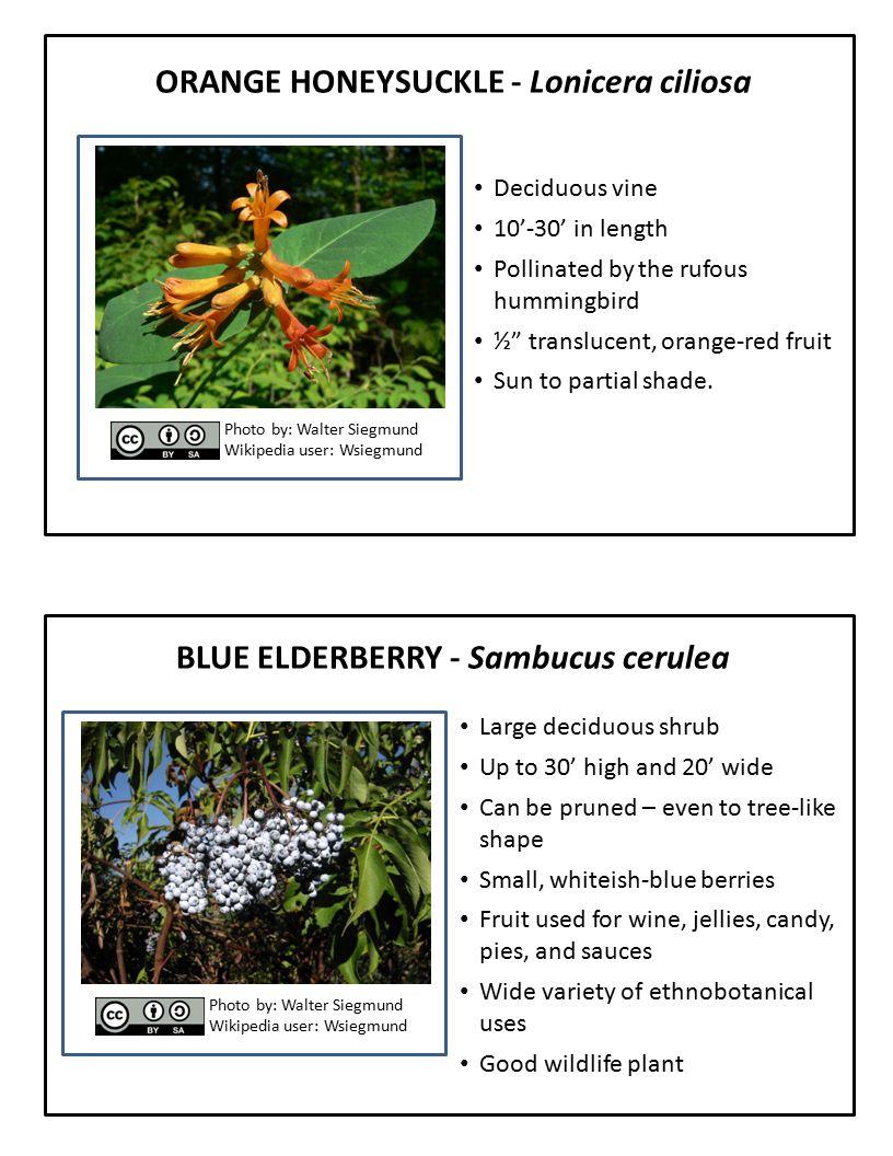 "ORANGE HONEYSUCKLE - Lonicera ciliosa Deciduous vine 10'-30' in length Pollinated by the rufous hummingbird ½"" translucent, orange-red fruit Sun to pa"