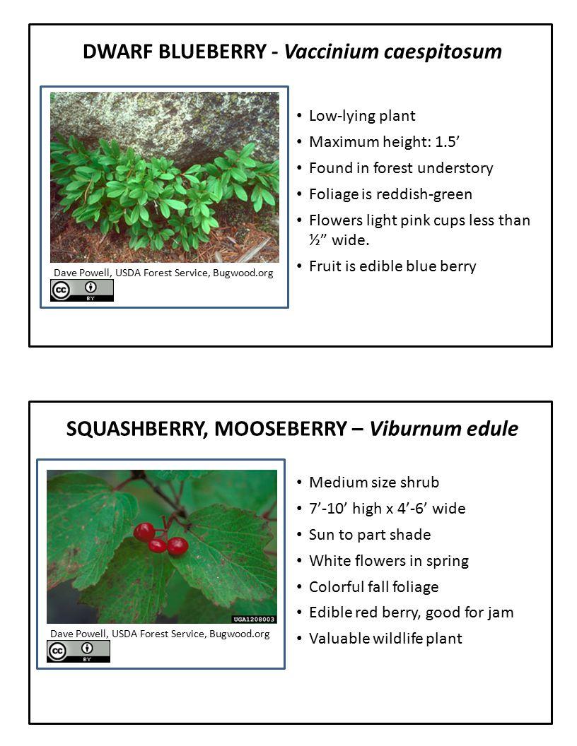 DWARF BLUEBERRY - Vaccinium caespitosum Low-lying plant Maximum height: 1.5' Found in forest understory Foliage is reddish-green Flowers light pink cu