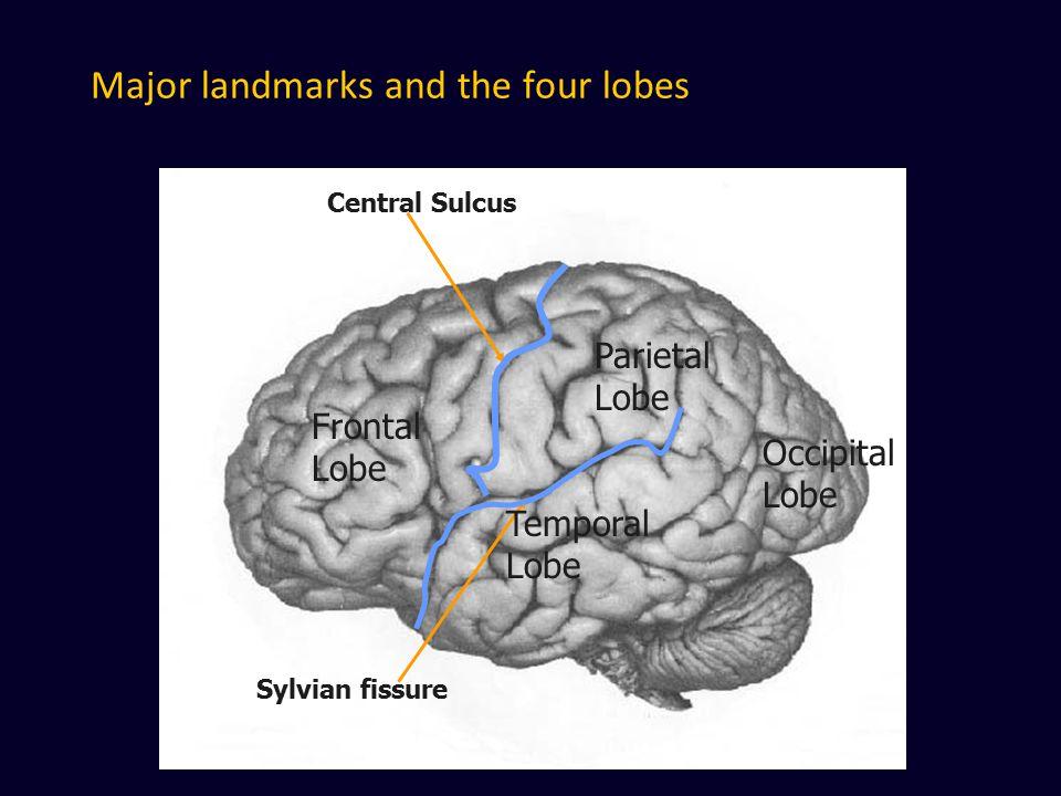 Major landmarks and the four lobes Central Sulcus Sylvian fissure Frontal Lobe Parietal Lobe Temporal Lobe Occipital Lobe