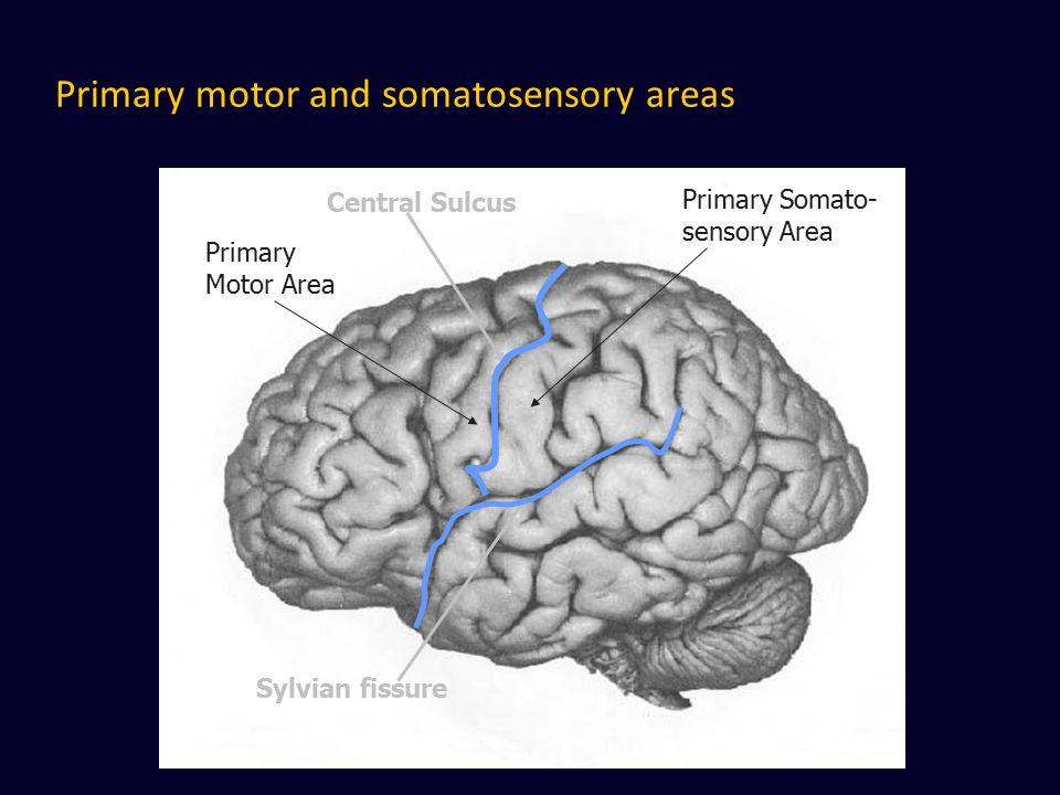 Primary motor and somatosensory areas Central Sulcus Sylvian fissure Primary Motor Area Primary Somato- sensory Area