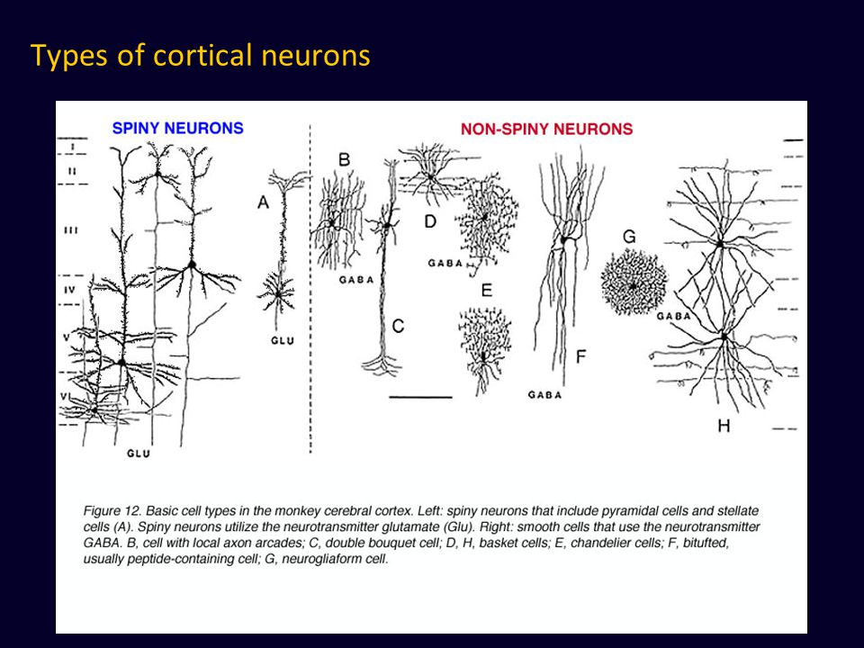 Types of cortical neurons