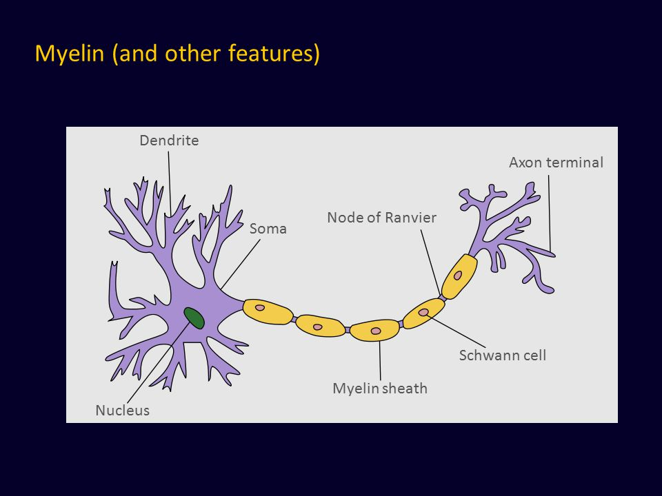 Myelin (and other features) Dendrite Nucleus Soma Myelin sheath Schwann cell Node of Ranvier Axon terminal