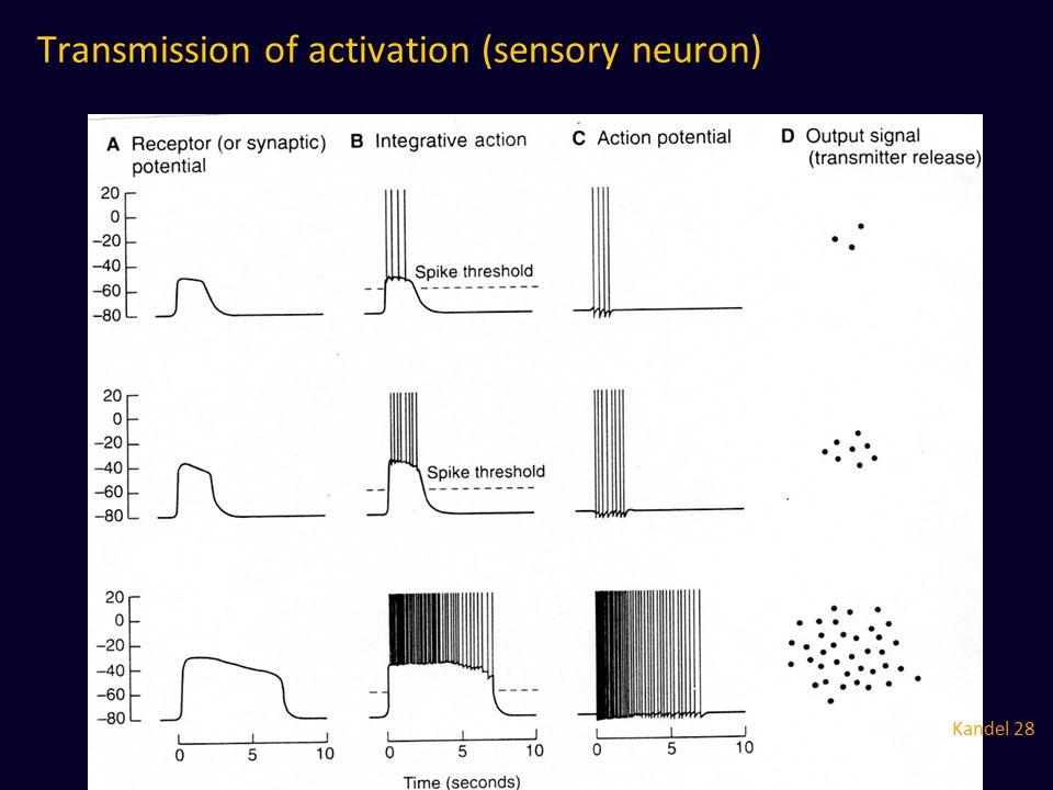 Transmission of activation (sensory neuron) Kandel 28