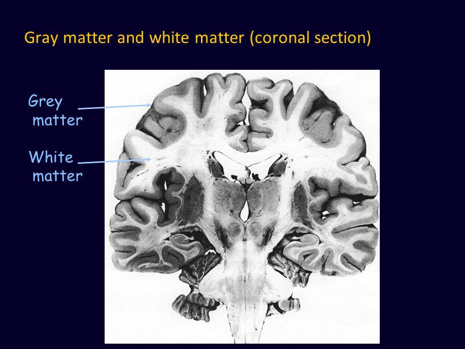 Gray matter and white matter (coronal section) Grey matter White matter