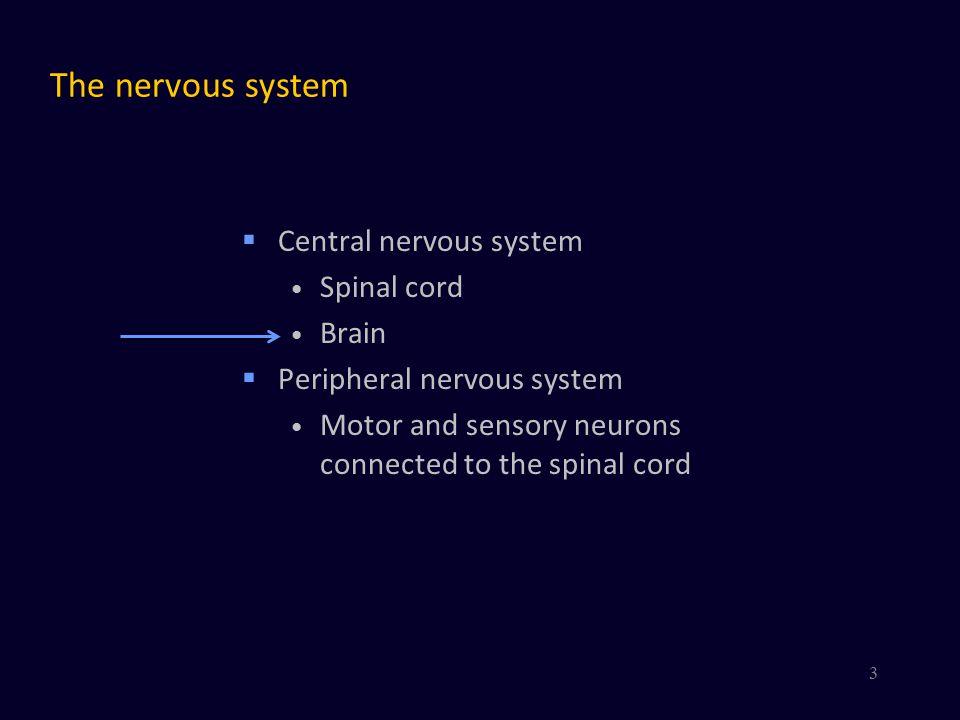 The brain  Medulla oblongata – Myelencephalon  Pons and Cerebellum – Metencephalon  Midbrain – Mesencephalon  Thalamus and hypothalamus – Diencephalon  Cerebral hemispheres – Telencephalon Cerebral cortex Basal ganglia Basal forebrain nuclei Amygdaloid nucleus  More..