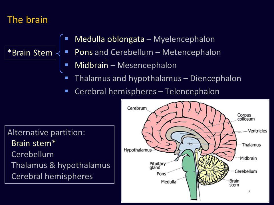 The brain  Medulla oblongata – Myelencephalon  Pons and Cerebellum – Metencephalon  Midbrain – Mesencephalon  Thalamus and hypothalamus – Diencephalon  Cerebral hemispheres – Telencephalon Cerebral cortex Basal ganglia Basal forebrain nuclei Amygdaloid nucleus 6