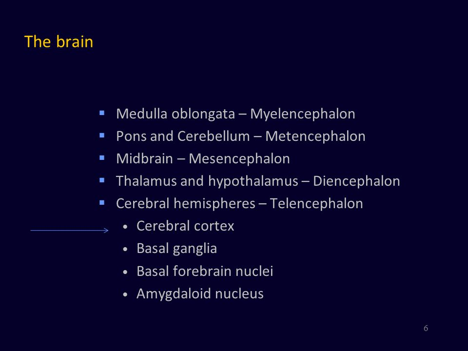 Thalamus and Cortex  The cortex is the area for High-level information processing Language  But the thalamus is also very important Timing and coordination of cortical activity Details not yet well understood  Metaphor: The cortex is the orchestra  A very large orchestra The thalamus is the conductor 7