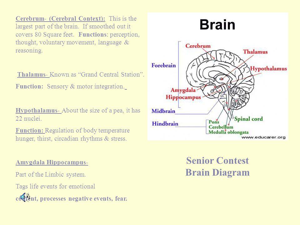Senior Contest Brain Diagram Cerebrum- (Cerebral Context): This is the largest part of the brain.