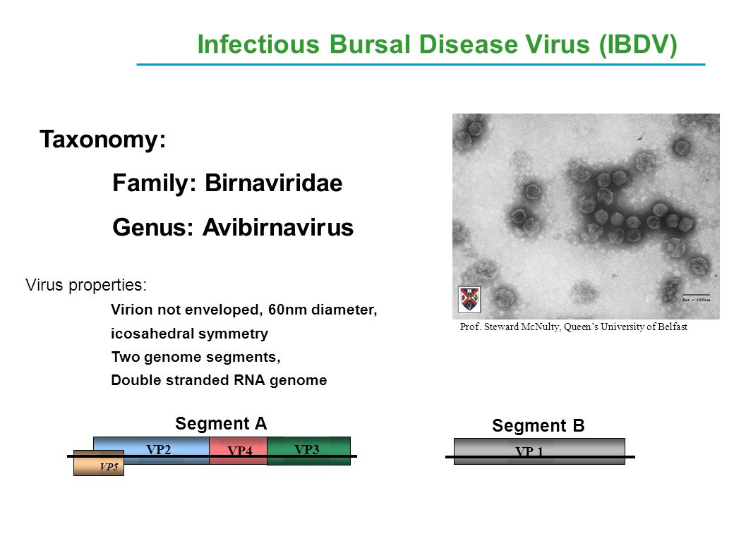 Infectious Bursal Disease Virus (IBDV) Virus properties: Virion not enveloped, 60nm diameter, icosahedral symmetry Two genome segments, Double strande
