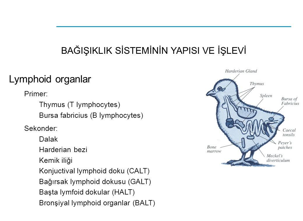 BAĞIŞIKLIK SİSTEMİNİN YAPISI VE İŞLEVİ Lymphoid organlar Primer: Thymus (T lymphocytes) Bursa fabricius (B lymphocytes) Sekonder: Dalak Harderian bezi