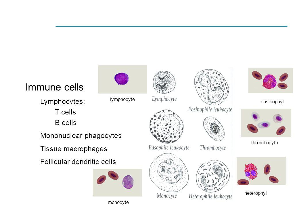 Immune cells Lymphocytes: T cells B cells Mononuclear phagocytes Tissue macrophages Follicular dendritic cells lymphocyte thrombocyte eosinophyl heter