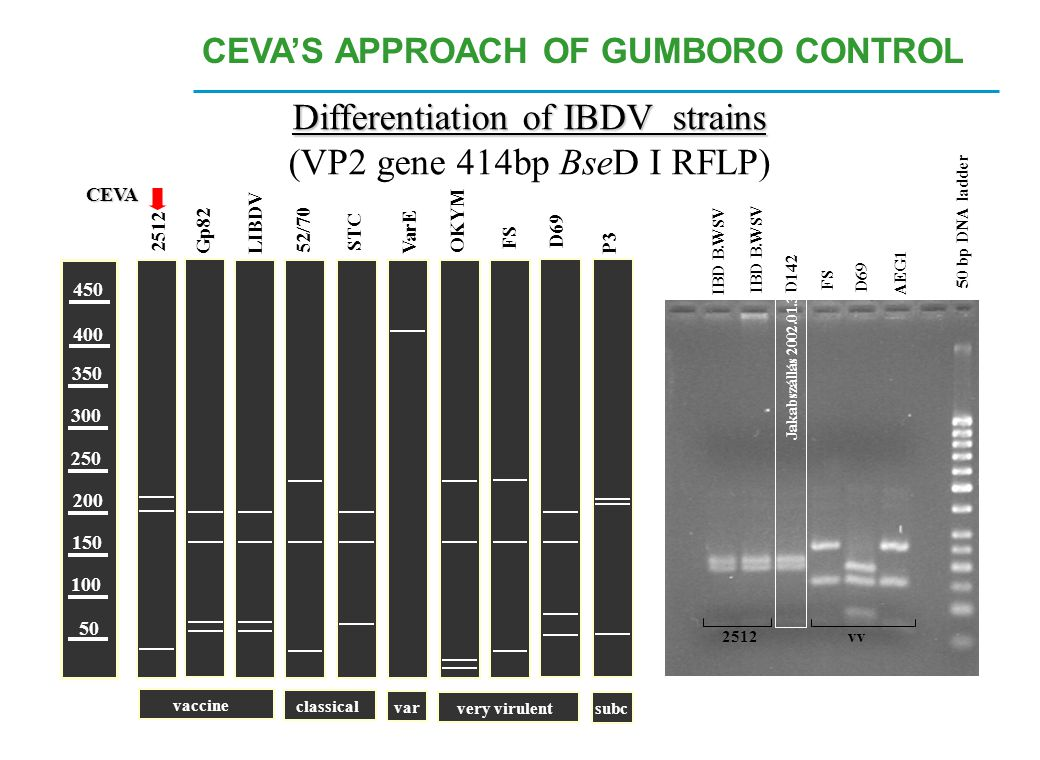 500 400 300 200 100 50 Differentiation of IBDV strains (VP2 gene 414bp BseD I RFLP) 450 400 350 300 250 200 150 100 50 Gp82LIBDV 2512 P3 OKYM 52/70 ST