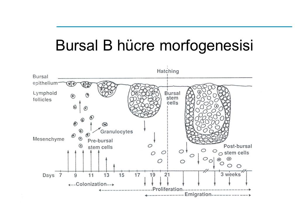Bursal B hücre morfogenesisi