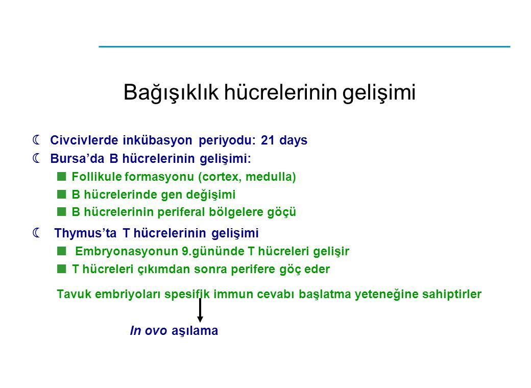  Civcivlerde inkübasyon periyodu: 21 days  Bursa'da B hücrelerinin gelişimi: Follikule formasyonu (cortex, medulla) B hücrelerinde gen değişimi B hü