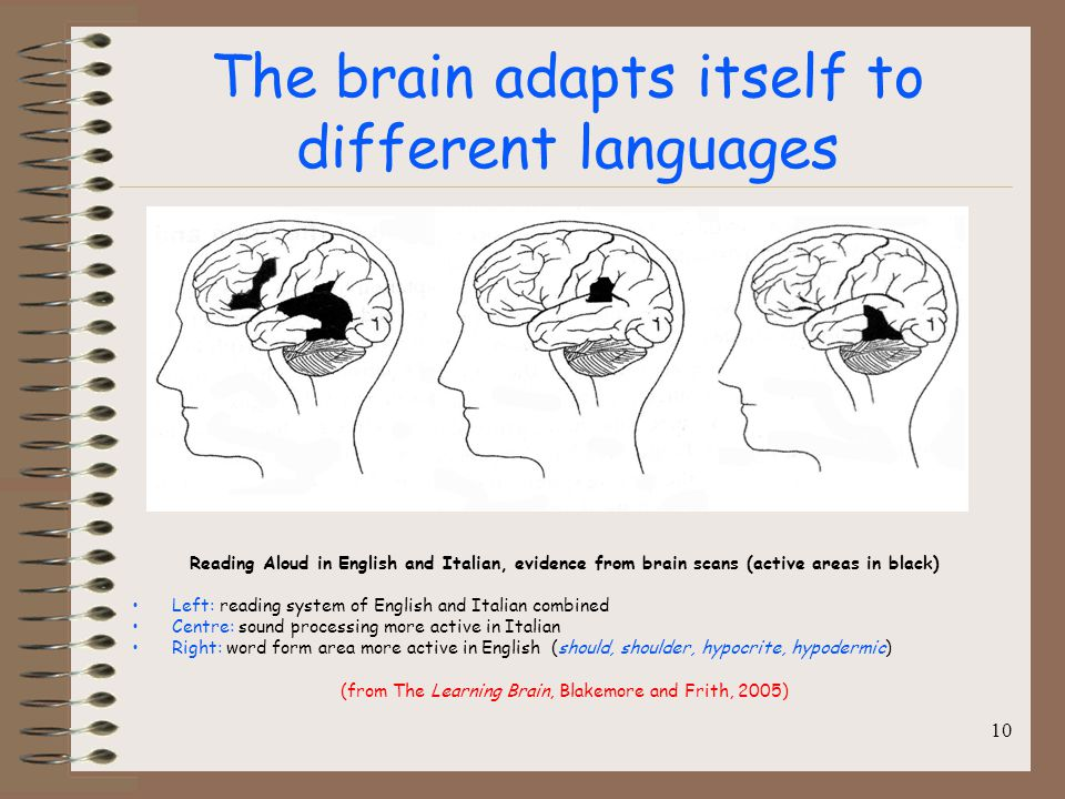 The brain adapts itself to different languages Reading Aloud in English and Italian, evidence from brain scans (active areas in black) Left: reading system of English and Italian combined Centre: sound processing more active in Italian Right: word form area more active in English (should, shoulder, hypocrite, hypodermic) (from The Learning Brain, Blakemore and Frith, 2005) 10